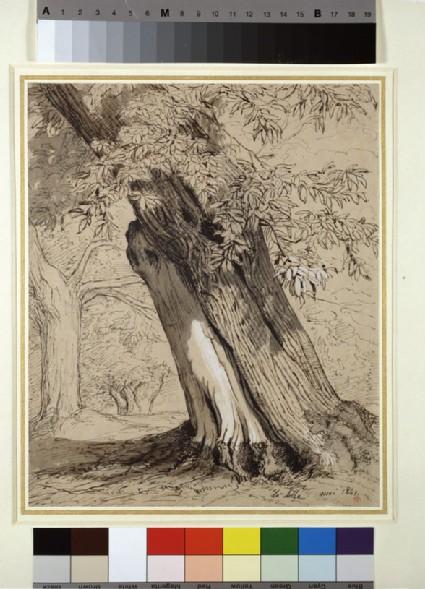 A Spanish chestnut tree