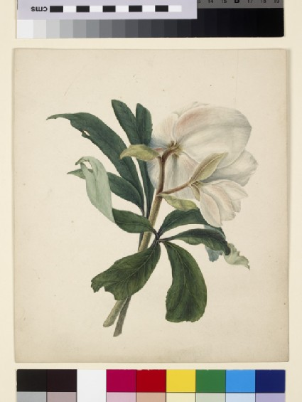Study of a Christmas Rose (Hellebore)
